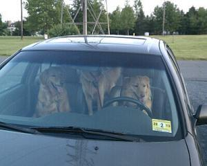 Puppies in car
